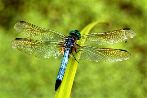 DRAGONFLY PICTURES, PICS, IMAGES AND PHOTOS FOR YOUR