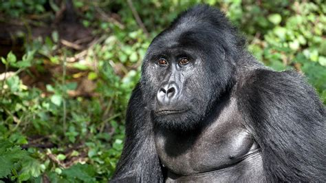 Gorillas could become extinct within 10 years | LifeGate