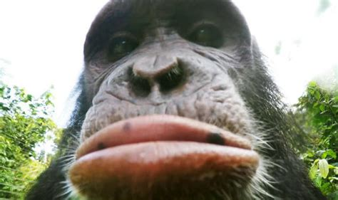 Chimpanzees in Cameroon Pout, Take Pictures of Rainforest
