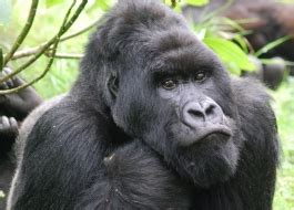 African Apes Initiative | African Wildlife Foundation